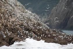 馬祖夏日賞鷗之旅   觀光旅遊不容錯過神鳥之姿
