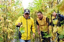 豪雨下近月 屏東產區果瓜類農產損失慘重