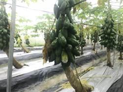 豪雨致災、農損達3135萬 木瓜損失最慘重