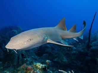 潛水遭鯊魚追擊!死裡逃生影片曝