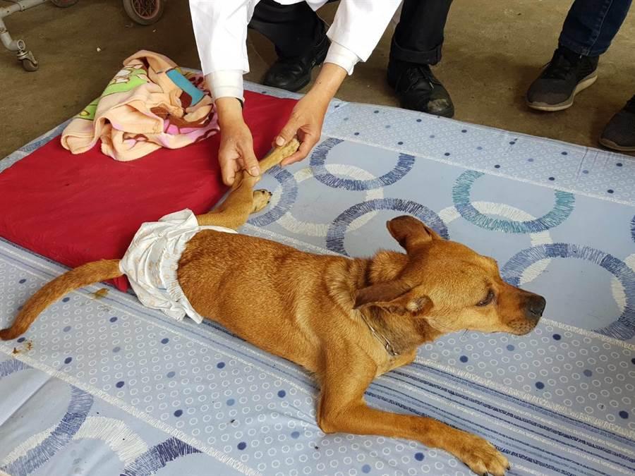 新北市板橋動物之家癱瘓動物長照復健工作。(譚宇哲翻攝)