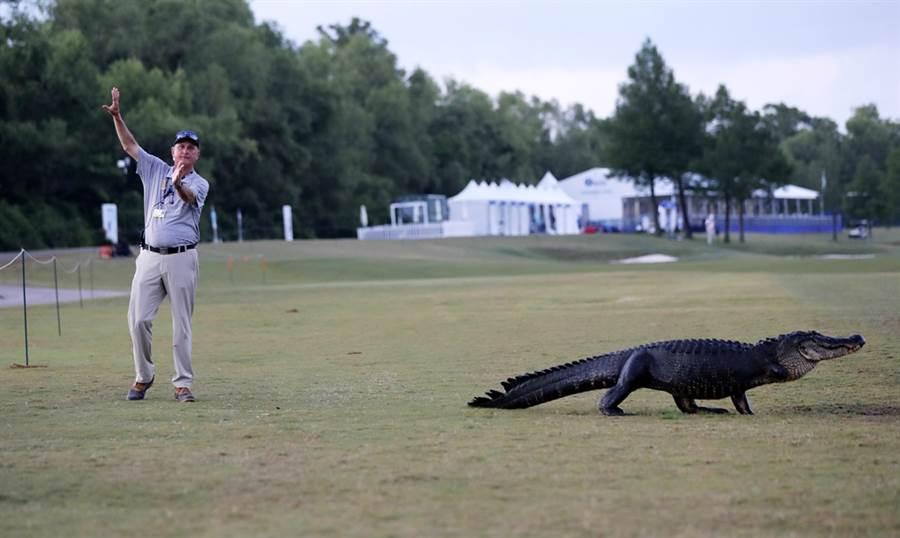因政策與地形關係,鱷魚在佛州較其他地區更為常見,現在有網友拍到鱷魚攀爬圍籬、翻牆的畫面。圖為鱷魚闖進高爾夫球場的資料照。(圖/美聯社)