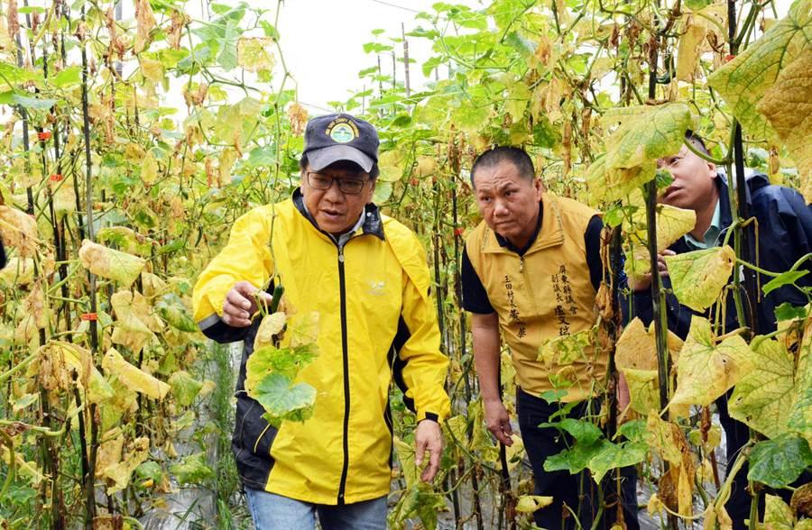 小黄瓜因连日雨势根部腐烂,整区瓜园才刚可以採收就宣告结束,让农民心血付诸东流。(林和生摄)