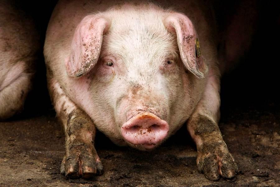 英國心臟移植先驅指出,或許3年內豬心移植人體就能成功。(圖/路透社)