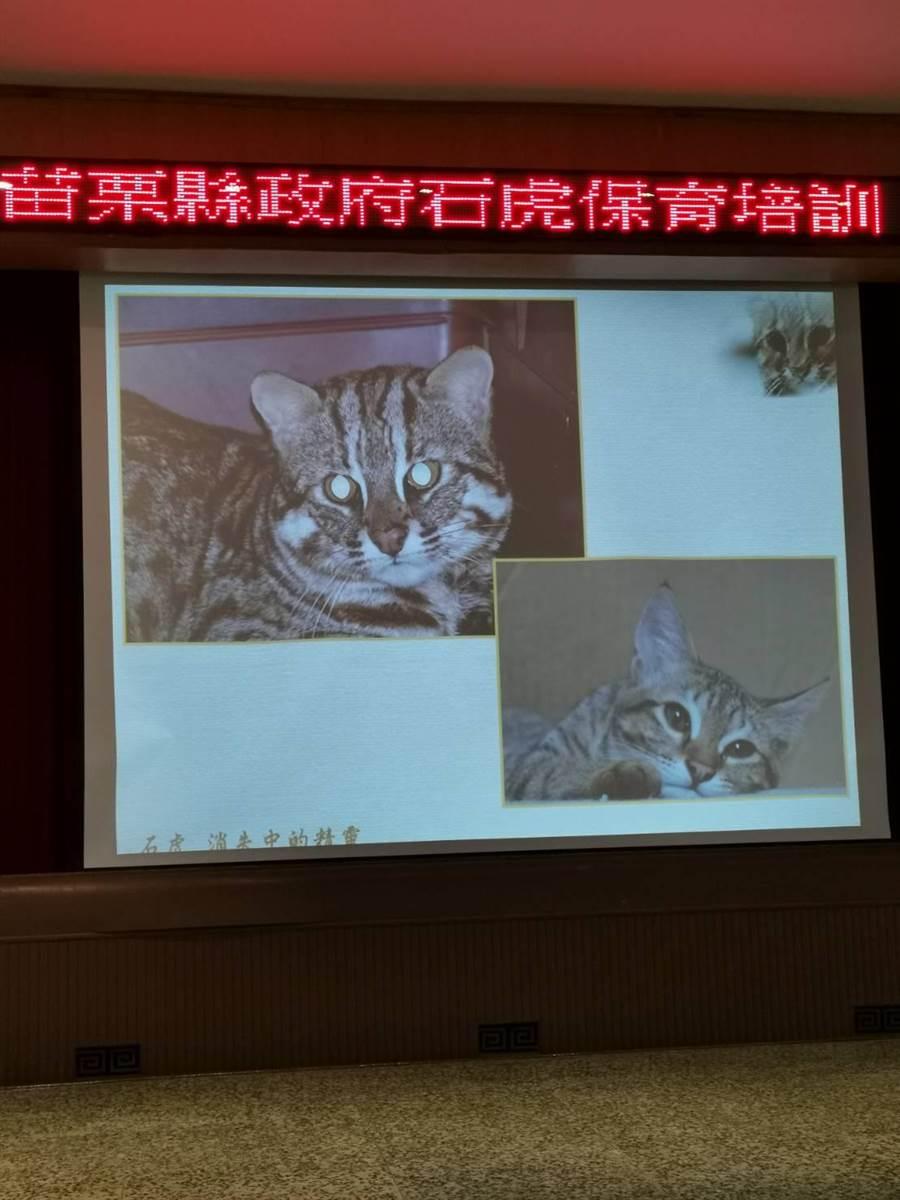 苗栗石虎保育協會理事長陳美汀透過圖片教導如何分辨石虎〔左上〕與家貓。〔謝明俊攝〕