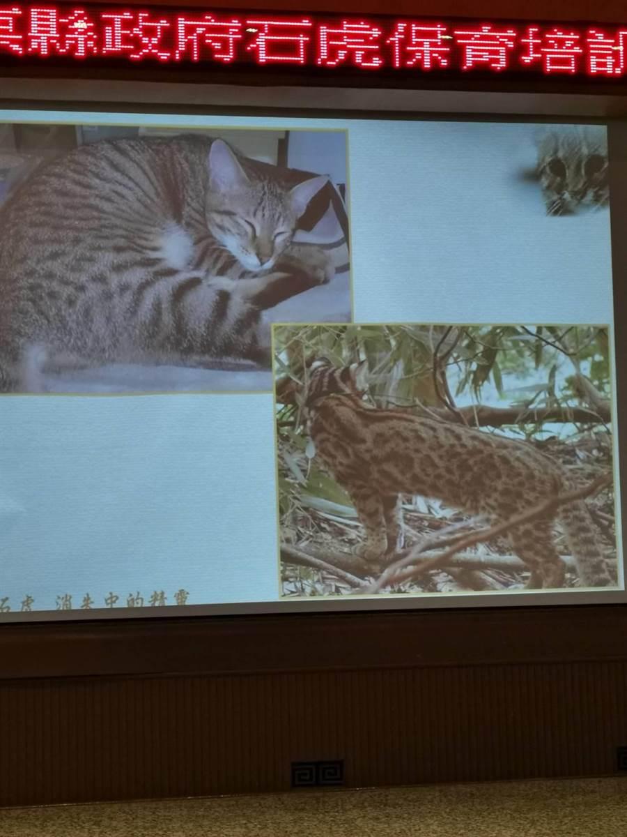 苗栗石虎保育協會理事長陳美汀透過圖片教導如何分辨石虎〔右〕與家貓。〔謝明俊攝〕