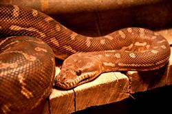 兩蛇為爭一女激戰!罕見畫面曝光