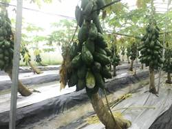 豪雨農損破億! 木瓜、百香果各損失3000萬最嚴重