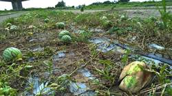 連日豪大雨台中西瓜、苦瓜嚴重農損 農業局將報中央辦理現金救助
