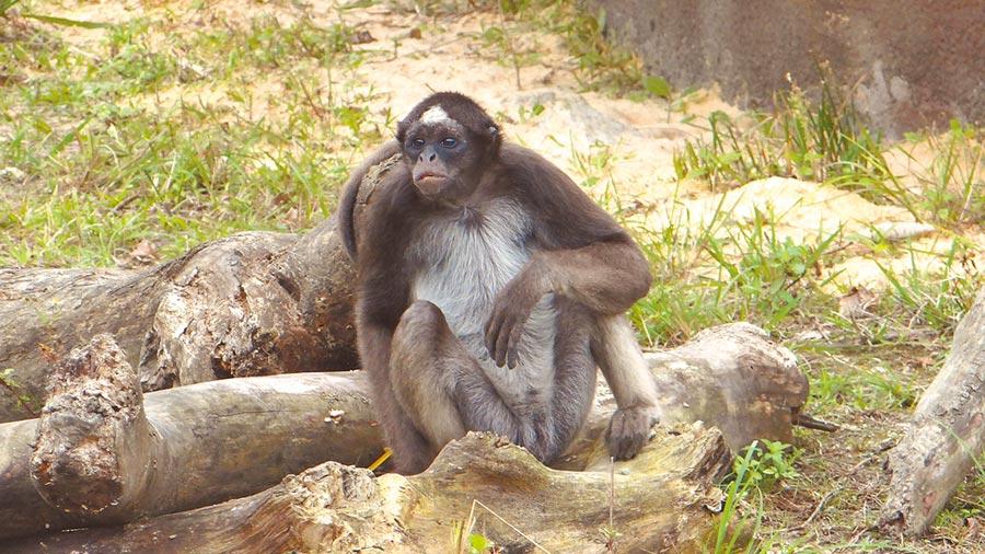 年輕的棕蜘蛛猴單身漢群,活動力強且好奇心旺盛。(台北市立動物園)