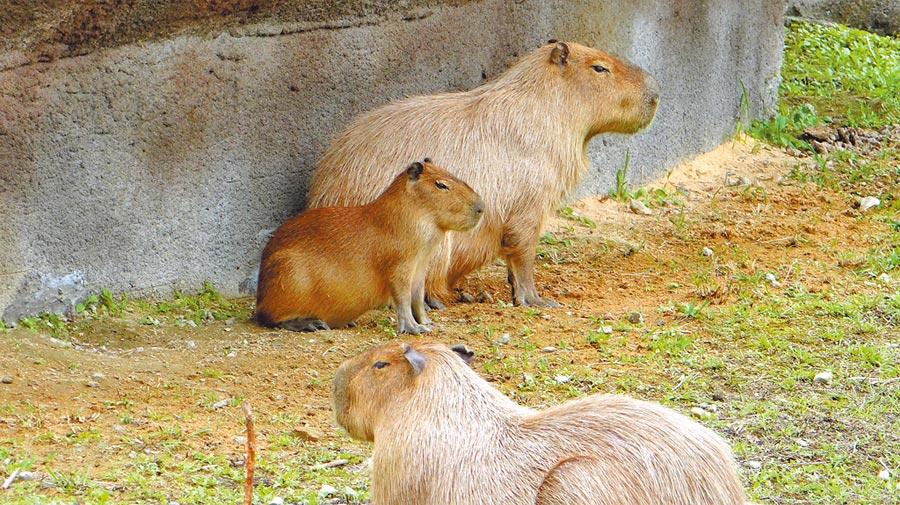 水豚會將人工小島下層的植栽,吃得乾乾淨淨。(台北市立動物園)