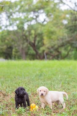 關務署:拉布拉多緝毒犬 黑色最聰明
