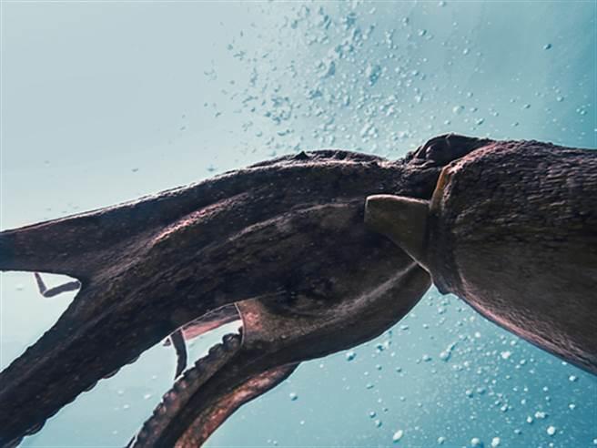 神祕海怪巨魷 能與抹香鯨廝殺(圖片取自/達志影像)