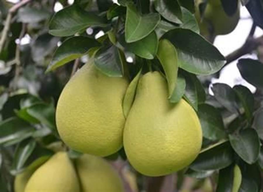 (圖好吃的文旦果實要有沉重感。圖/農委會提供)