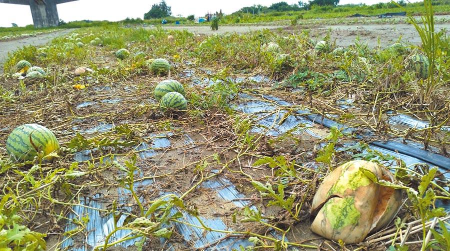 連日豪大雨造成台中西瓜等農作物災損,農業局將報中央公告辦理現金救助。(陳世宗翻攝)