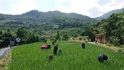 石門嵩山割稻趣 體驗割稻飯午餐