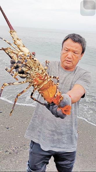 捕獲5台斤霸王龍蝦 就地野放
