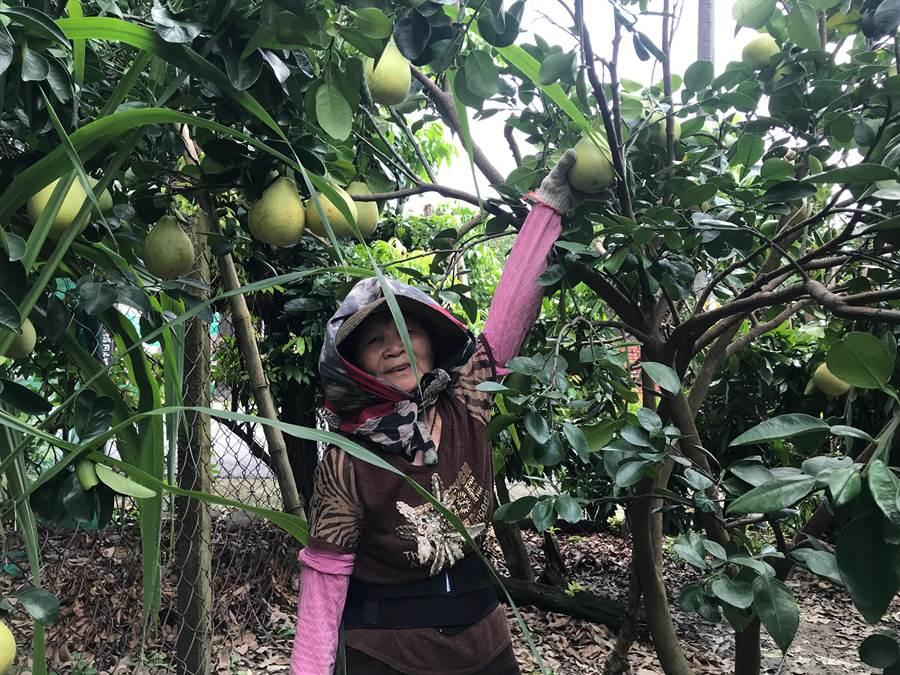 「白鹿」颱風腳步逼近,麻豆區的文旦園柚農忙著搶收。(劉秀芬攝)