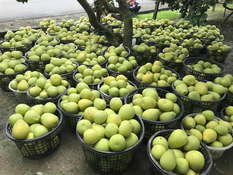 麻豆柚農忙著搶收,摘下來的文旦堆滿一地,等待運送到倉庫存放。(劉秀芬攝)