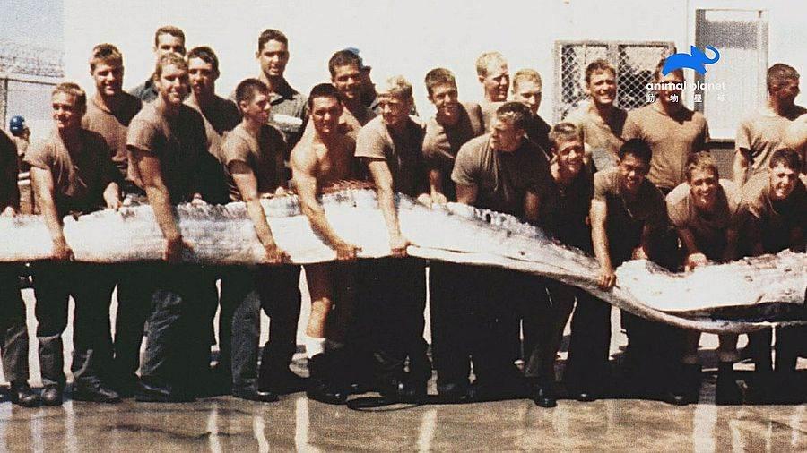 美國海豹部隊在聖地牙哥海灘發現身長7尺的皇帶魚(又俗稱地震魚)。(圖取自動物星球頻道官網)