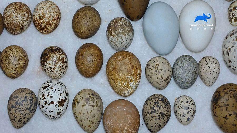 源自恐龍時代的完美孵化方式,千奇百怪的鳥蛋形狀。(圖取自動物星球頻道官網)