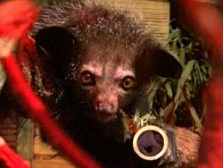 中指可360°旋轉!超萌「指猴」入住北市動物園