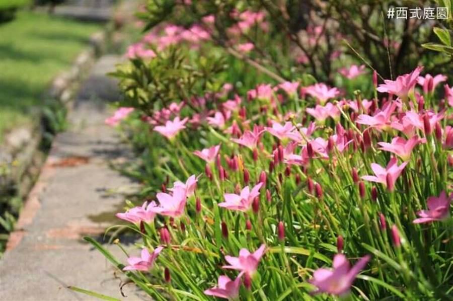 蔥蘭與韭蘭為石蒜科蔥蘭屬,多年生草本花卉。(圖取自台北旅遊網)