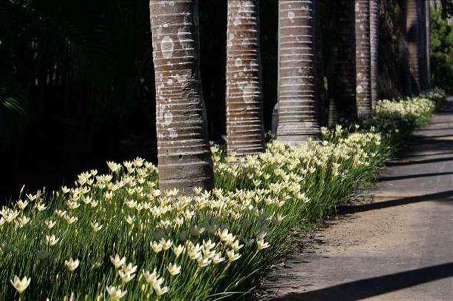 一整片的蔥蘭及韭蘭正在熱情盛開。(圖取自台北旅遊網)