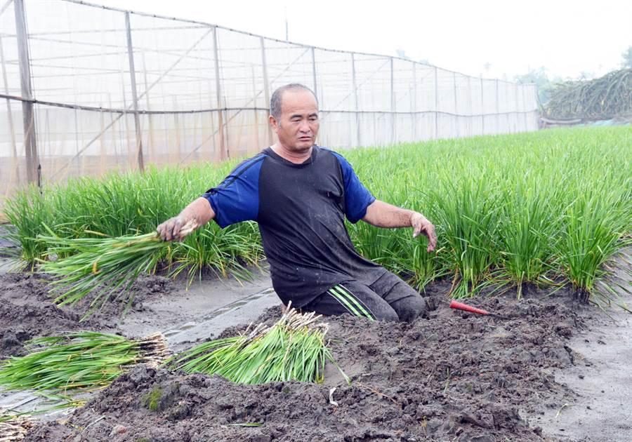 農友冒雨搶收韭菜,為得都是孩子的註冊費。(林和生攝)