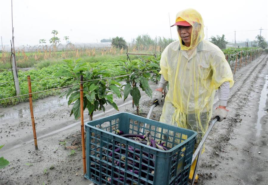 茄農搶收作物,無奈難道「天公錢歹賺」。(林和生攝)