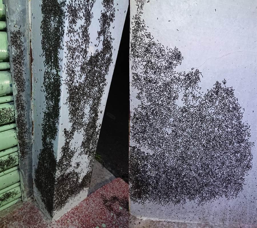 飛蟻大軍猶如黑瀑布一般,佔據民宅。(圖/翻攝自徐紹唐臉書)