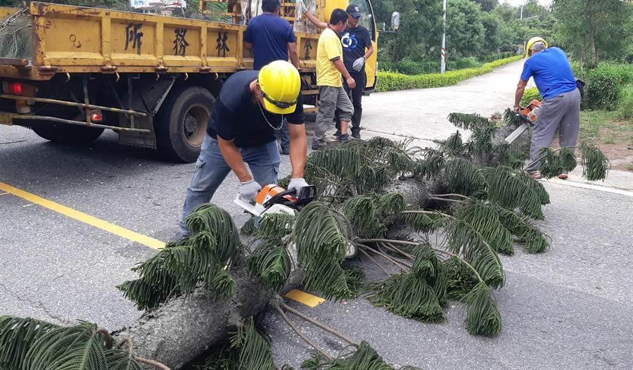 白鹿颱風來勢洶洶,金門己有20餘起路倒樹木通報,林務所派員緊急排除。(李金生攝)