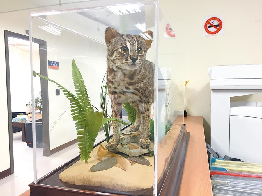 苗栗縣政府農業處23日迎來第3隻石虎標本,前2隻放置保育中心內。(巫靜婷攝)