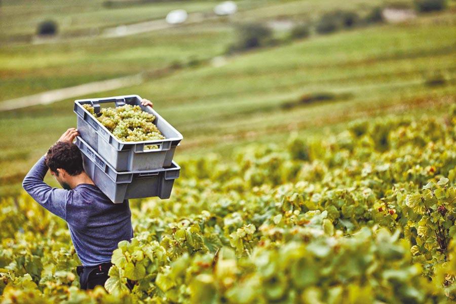 霞多麗可以說是勃艮地最重要的一種品種,不只白酒,香檳也是由霞多麗釀製。圖片提供誠品酒窖