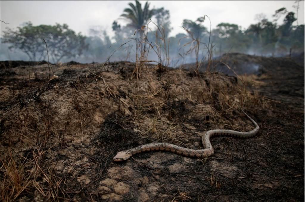 亞馬遜森林大火是今年最嚴重的生態浩劫之一。(圖/路透社)
