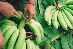 白鹿颱風農損達2547萬 台東香蕉公告現金救助