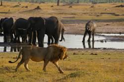 獅子鱷魚搶吃大象 慘烈對決結局是?