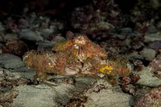 野生蟹如岩石 內行人:有毒別吃