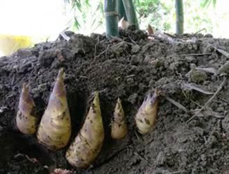颱風多雨時節 台中竹筍好吃又省荷包