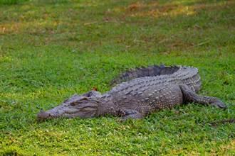 鱷魚路過高爾夫球場 男淡定揮桿