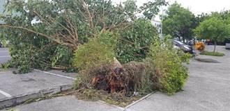 白鹿過後菩提樹倒 倒楣小轎車遭壓住