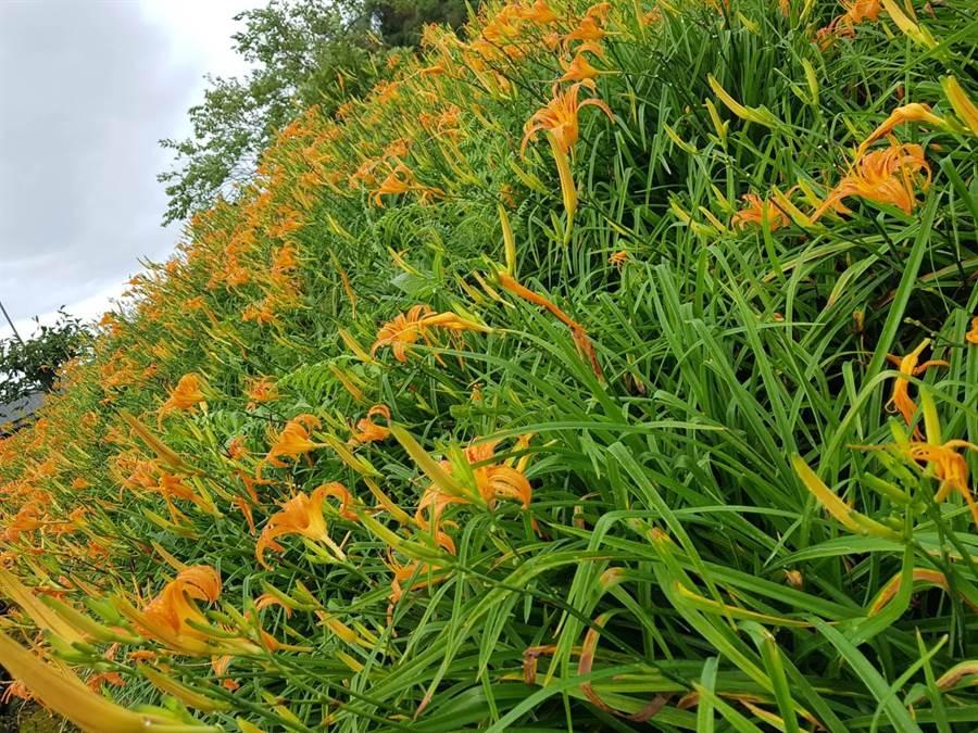 此次颱風並未帶來強風,金針花仍舊開得滿山滿谷,雨水也意外滋潤花朵,未來20天左右花況將再掀起一波高潮。(陳期泓提供)