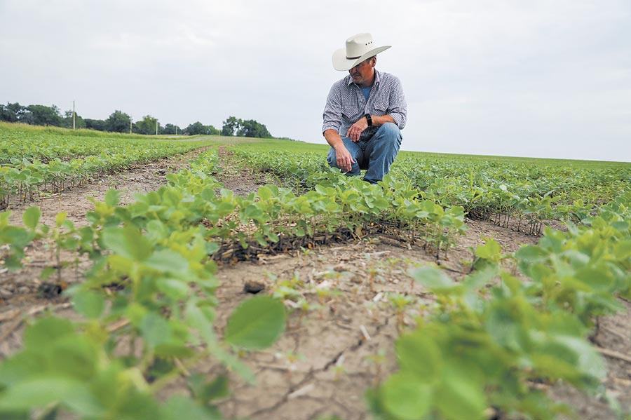 天災「稅禍」讓美國農民憂心忡忡,圖為6月18日,在美國愛荷華州一農場主人在自家田地裡查看大豆的生長情況。(新華社)