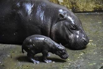 壽山動物園爆喜事! 侏儒河馬寶寶出生啦
