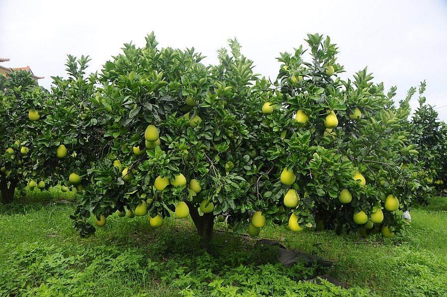 八里文旦柚果树。(图取自新北市景观处官网)