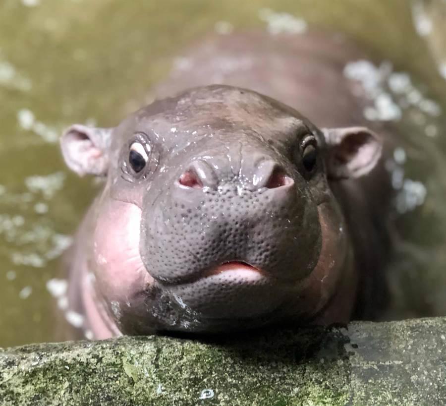 壽山動物園爆喜事,侏儒河馬「春園」產下健康寶寶,園方歡迎民眾一同命名。(柯宗緯翻攝)