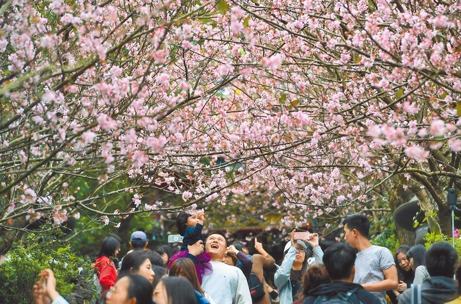 圖為內湖碧山巖櫻花盛開。(中央社)