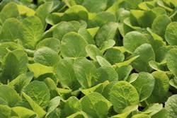 天候轉晴 農委會:蔬菜供應漸趨穩定