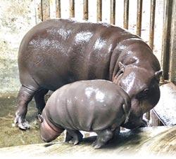 壽山動物園 侏儒河馬寶寶報到