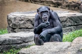 笑非裔同事黑猩猩 女主播結局超慘